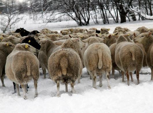fårrumpor