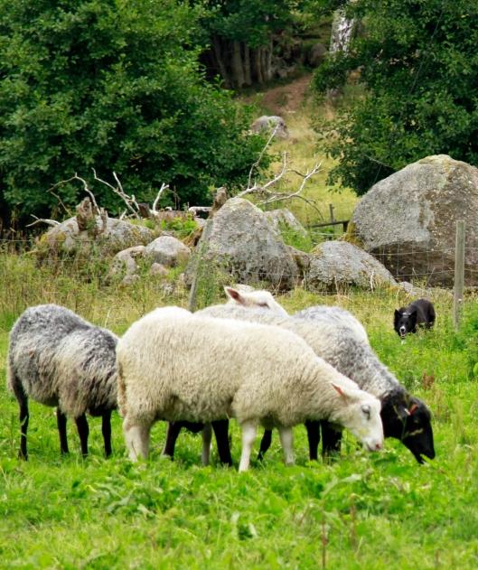 kite fåren