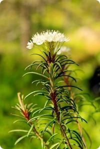 fina blommaa