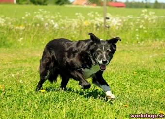 gamelhund 3