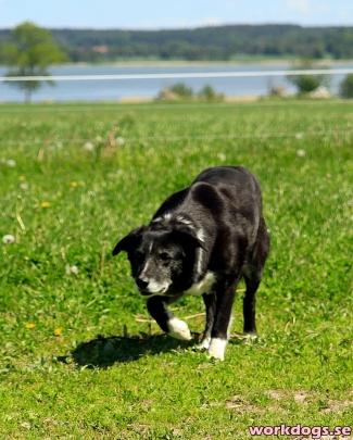 gamelhund