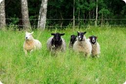 fåren svea hilda ulla elsa elsi