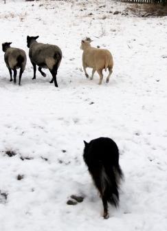 kite fåren föser