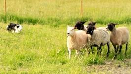 fajt fåren vallar
