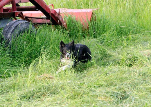 kite border collie vallar flankerar