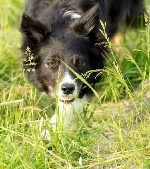 kite border collie vallar