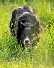 kite-border-collie-vallar-foser-2