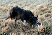 kite-vallhund-bordercollie-3