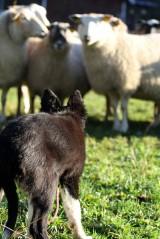 bee-far-vallhund