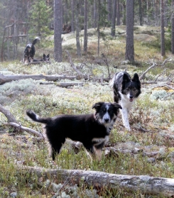 border collie skogen
