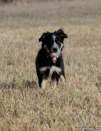 lynn-border-collie-valp